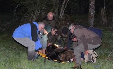 Los veterinarios determinan «pronóstico grave» y una paraplejia en el oso pardo hallado esta semana en Palacios del Sil