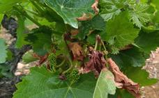 Las últimas lluvias aumentan el riesgo de infección por mildiu en los viñedos de la comarca del Bierzo