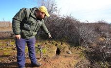 La DO activa el protocolo de medidas para luchar contra la plaga de conejos que ataca de nuevo los viñedos del Bierzo