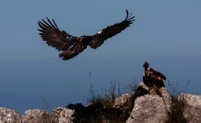 Trasladan a León a la primera pareja de quebrantahuesos en Picos de Europa para lograr su reproducción