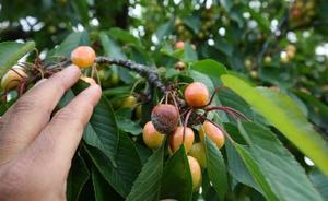 Los fruticultores del Bierzo cierran una campaña de cereza «desastrosa» por los daños ocasionados por las heladas y las lluvias