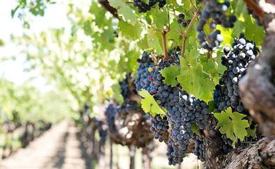 La DO Bierzo evalúa los posibles daños del granizo en los viñedos de la comarca