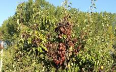 La Estación de Avisos alerta de la aparición de fuego bacteriano en los frutales del Bierzo