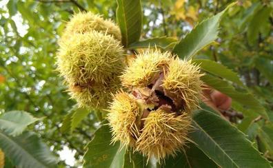 Noceda del Bierzo y Balboa acogen dos cursos sobre el cultivo del castaño para la producción de fruto