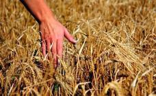 La campaña de cereal se inicia con previsión de una reducción de hasta el 70% en la Comunidad