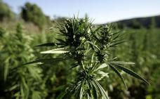 Intervienen 64.000 plantas de marihuana tras un incendio forestal en Huelva