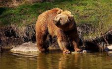La Fundación Oso Pardo está en desacuerdo con el alarmismo de COAG-Asturias sobre los ataques de osos al ganado