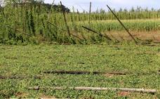 El granizo lleva la «ruina total» al Órbigo y deja afectado el 40% de las plantaciones de lúpulo antes de la recogida