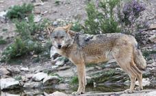Castilla y León mantendrá su política de gestión del lobo pese a que Asturias permitirá su caza en 3.300 kilómetros cuadrados