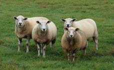 Las ovejas, capaces de reconocer caras humanas en fotografías