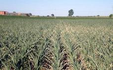 Asaja pide más apoyos al maíz por ser el cereal peor pagado