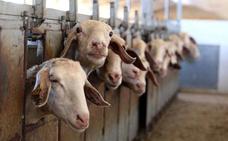 La Alianza reclama a la Junta que no penalice a los ganaderos de ovino y caprino en la ayuda asociada
