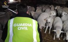 La Guardia Civil detiene a dos ganaderos por la recepción de los corderos robados en Cuadros