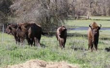 El mejor hogar para el bisonte europeo