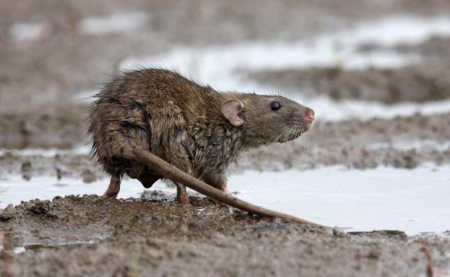 La zona en la que han desaparecido completamente las ratas