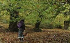 Los castañicultores ven en la suelta de 'Torymus' un «remedio» para frenar la plaga de la avispilla en El Bierzo