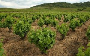 Los viñedos de la DO Bierzo se 'salvan' del mildiu a pesar de la lluvia y apuntan a una cosecha con «muy buenas» expectativas