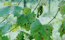 El 'black rot' y el mildiu amenazan a los viñedos del Bierzo por las tormentas y las cálidas temperaturas nocturnas