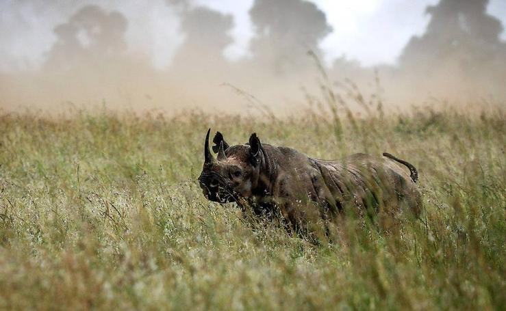 En Kenia quedan 745 rinocerontes