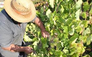 Las bodegas de Ribera del Duero podrán elaborar vinos blancos de albillo mayor