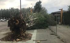 La tormenta provoca la caída de once árboles en la capital leonesa y una cornisa en calle Las Fuentes