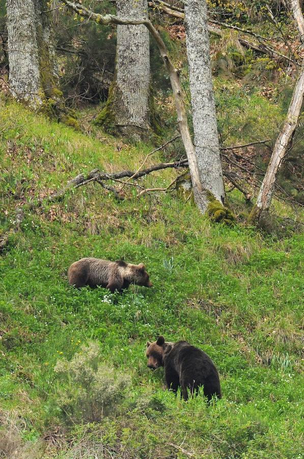 Ejemplares de osos pardos en León