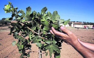 La producción de almendros se multiplica por cuatro en León mientras que el pistacho se queda en un cultivo testimonial