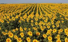 La pipa de girasol ofrecerá la mejor producción en la historia de su cultivo en la provincia de León