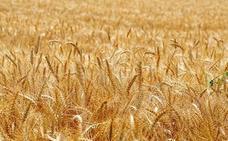 Las organizaciones agrarias confían en una progresiva subida del precio del cereal en sintonía con los mercados internacionales
