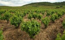 La Junta amplía hasta el 13 de septiembre el plazo para solicitar las ayudas a la reestructuración y reconversión de viñedo