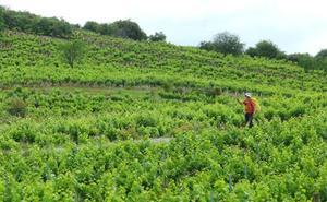 La cosecha de uva mermará por tercer año debido al mildiu en El Bierzo
