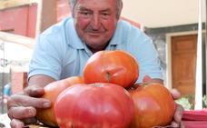 La cosecha del tomate de Mansilla alcanza los 60.000 kilos, 5.000 se venderán en su tradicional Feria