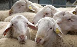 UCCL exige soluciones para el ovino de leche y un control poblacional de la fauna salvaje para frenar el daño a los cultivos