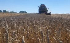 El campo cierra una «excepcional» campaña de cereales en el secano frente a las pérdidas del regadío leonés