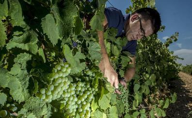 Los brotes de mildiu y oídio no afectarán a la buena vendimia que se espera en la región
