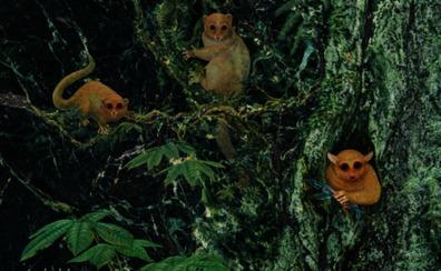 Descubren tres nuevas especies de primates que vivieron hace 40 millones de años