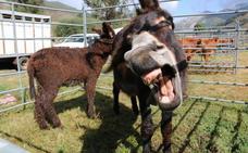Lugueros presume de ganadería bajo la Feria del Cristo