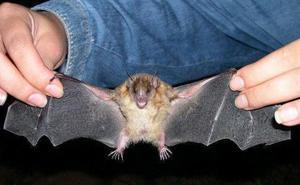 La Junta confirma la mordedura de un murciélago con rabia a una mujer en Valladolid