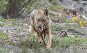 Medio Ambiente dará «pasos firmes» para adaptar el plan a la ley y levantar el veto a la caza del lobo en el norte del Duero