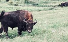 Riaño lograr sedar al bisonte 'Barlog' tras 20 días huido por los montes de Boñar y evita el sacrificio del animal