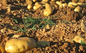 La Cooperativa Prodeleco de Riego de la Vega reúne a un centenar de productores y comercializadores de patata