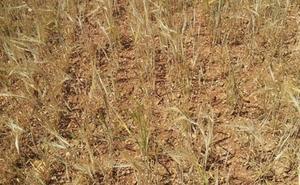 La Junta convoca 11 millones en ayudas para las explotaciones agrarias que sufrieron pérdidas por la sequía la pasada campaña