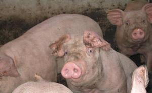 Asaja pide que se «extremen» las medidas para evitar el riesgo de difusión de peste porcina africana