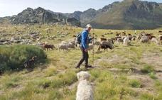 1.600 ovejas inician la trashumancia desde Picos de Europa