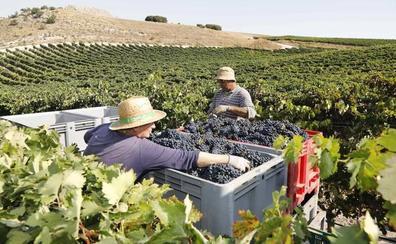 Las expectativas de una gran vendimia en Castilla y León provocan el efecto llamada de jornaleros