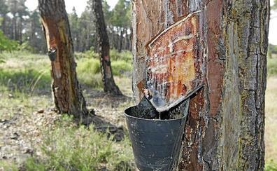León duplica en menos de cinco años el número de pinos dedicados a la extracción de resina