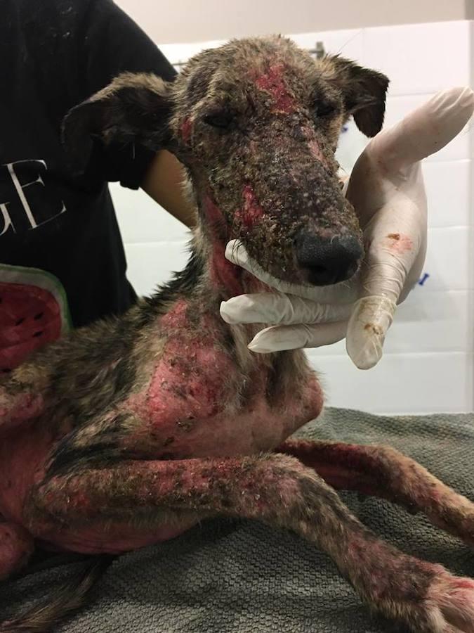 La Asociación Galgos de León salva la vida de una perra abandonada y maltratada