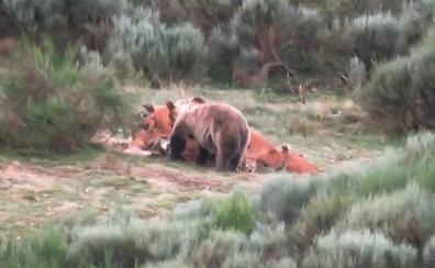 El oso pardo sale de su peligro crítico, llega a 350 ejemplares y va perdiendo el miedo al hombre