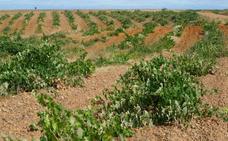 La DO Tierra de León exige a la Junta «máximo respeto» al viñedo viejo en la concentración parcelaria de Los Oteros