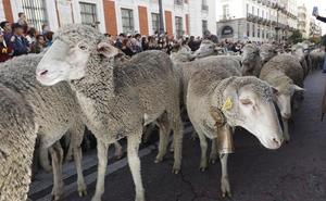 La trashumancia, De Picos de Europa a Madrid